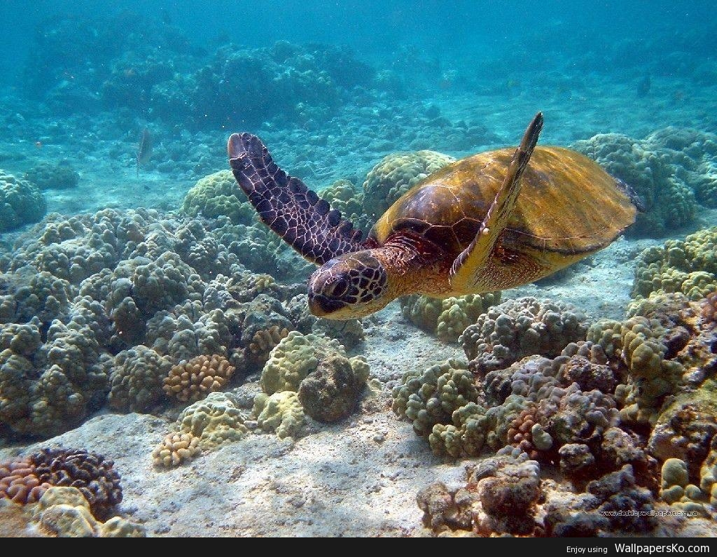 Sea Turtles Wallpaper