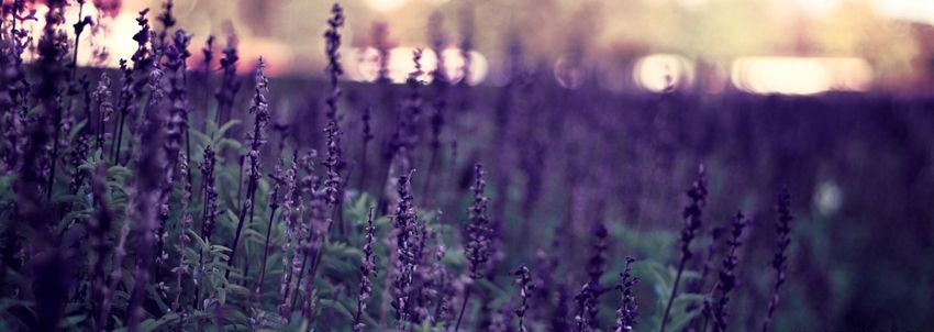 fb cover photos lavender