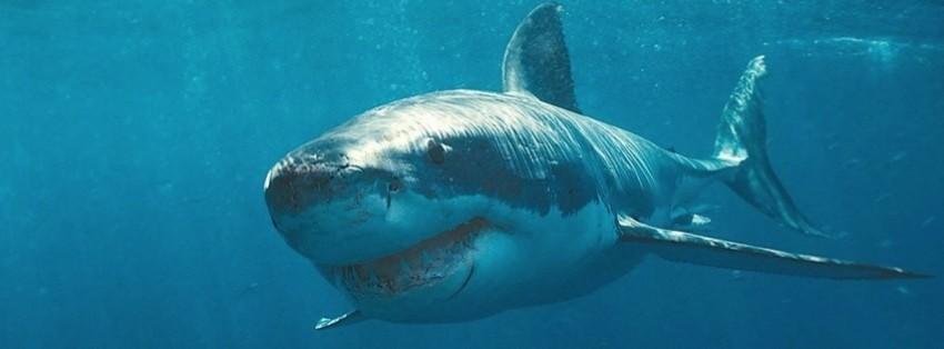 shark fb cover