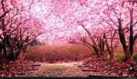 Cherry Blossom Tree Background