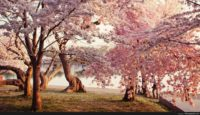 Cherry Blossom Wallpaper Desktop