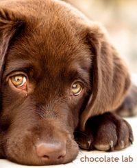 Chocolate Labrador Retriever Pictures