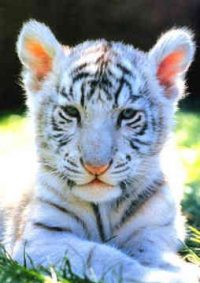 Cute Baby White Tigers