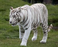 Large Pictures Of White Tigers Free