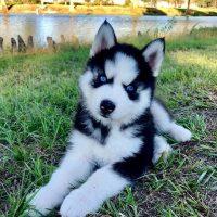 Pics Of Alaskan Husky Puppies