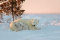 Polar Bears Screen Savers