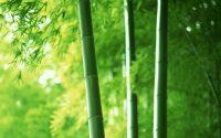 green bamboo wallpaper