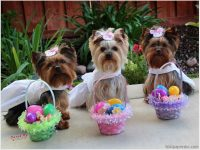 happy easter yorkie images