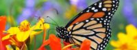 monarch butterfly flowers fb cover images