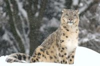 pictures of snow leopards
