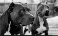 pitbull wallpapers