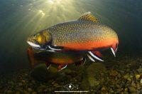 trout wallpaper