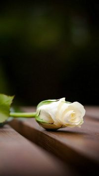 white roses wallpaper
